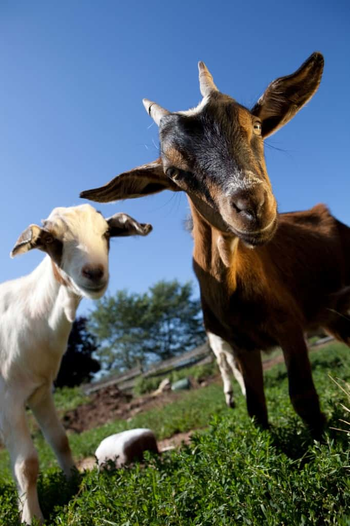 Holle, Kabrita, and Nanny Care - Which is the BEST Goat Milk